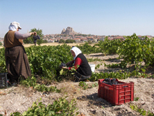 Women collecting grapes on the fields near Uçhisar, Cappadocia - Photo Source: Vinotolia